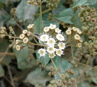 Flowering Ageratina adenophora in the field. Photo by Anju Sharma Poudel