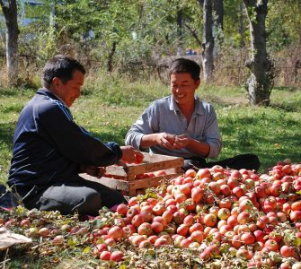 Mountain farmers sort apples in an orchard in Kyrgyzstan. Photo by Alma Uzbekova